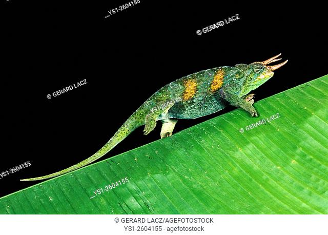 Jackson's Chameleon, chamaeleo jacksoni, Male walking on large Leaf