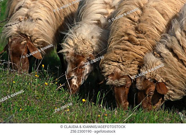 Four sheep grazing side by side - Greece