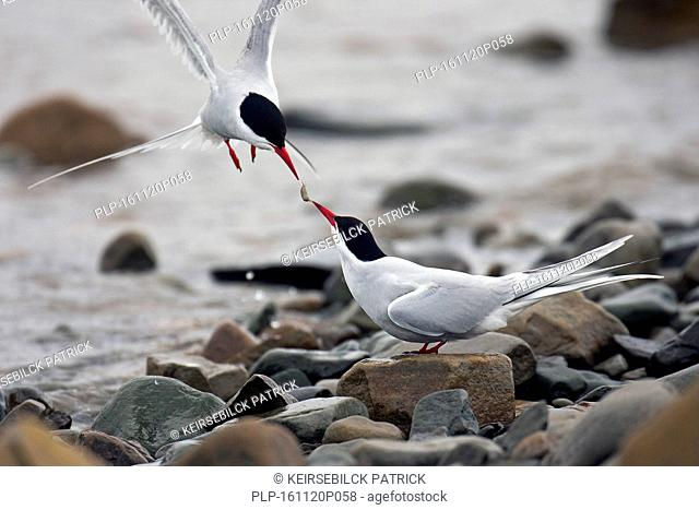 Arctic Tern (Sterna paradisaea) male offering food to female on shingle beach in spring