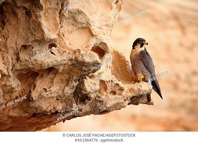 Peregrine falcon (Falco peregrinus). Serra de Tramuntana, Mallorca, Balearic Islands, Spain