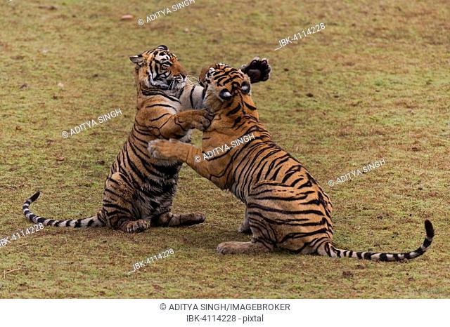 Two Bengal Tigers (Panthera tigris tigris), subadult cubs play-fighting in a dry lake bed, Ranthambhore National Park, Rajasthan, India