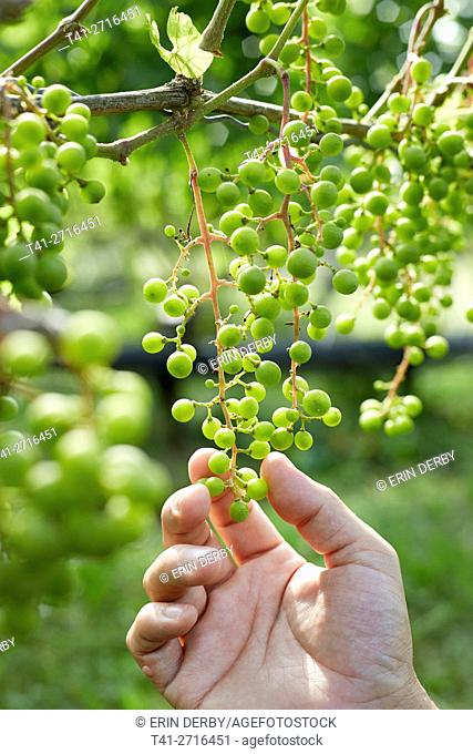 hand touching grapes