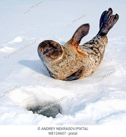 ringed seal (Pusa hispida) Arctic, Russia, Russian north, Kareliya, White sea