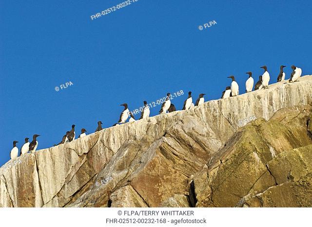 Common Guillemot Uria aalge adults, colony standing on rocks, Saltee Islands, Ireland