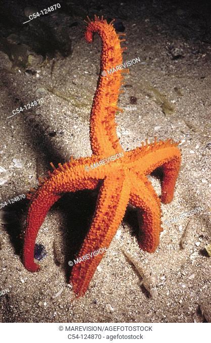 Starfish (Echinaster sepositus). Ria of Vigo, Pontevedra province, Galicia, Spain
