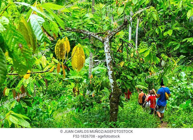 Oreba organic cacao, Oeste Arriba River, Ngabe Ethnic Group, Bocas del Toro Province, Panama, Central America, America