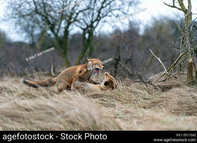Red Foxes / Rotfuechse ( Vulpes vulpes ) in heavy fight during their rutting season in February, wildlife Europe