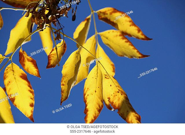 Yellow leaves in the blue sky, Collserola mountain, Barcelona, Catalonia, Spain