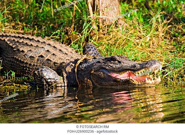 alligators alligator north america united states