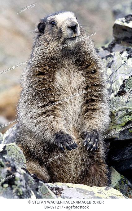 Hoary Marmot, Marmota caligata, Tombstone Mountains, Tombstone Territorial Park, Yukon Territory, Canada