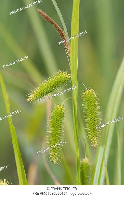 Carex pseudocyperus / Scheinzypergras-Segge, Carex pseudocyperus
