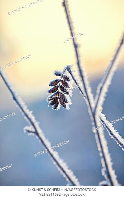 Frost is covering twigs on a cold winter day. Västernorrland, Sweden