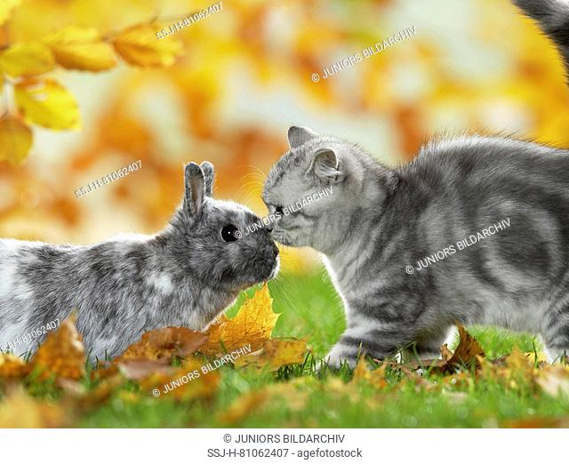 British Shorthair Cat and Dwarf Rabbit. Tabby kitten and bunny meeting in a garden in autumn, Germany