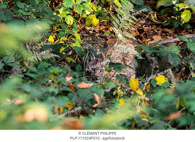 Two month old Eurasian lynx (Lynx lynx) kitten showing camouflage colours while hiding in the undergrowth in autumn forest