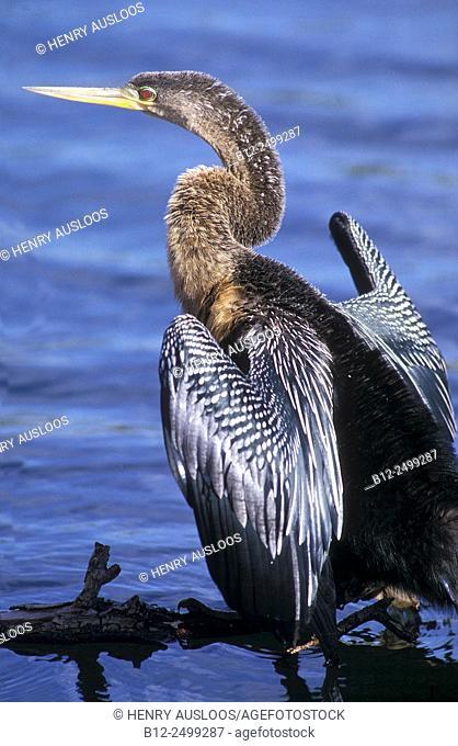 Anhinga or American Darter (Anhinga anhinga.). Everglades Nat. Park, Florida