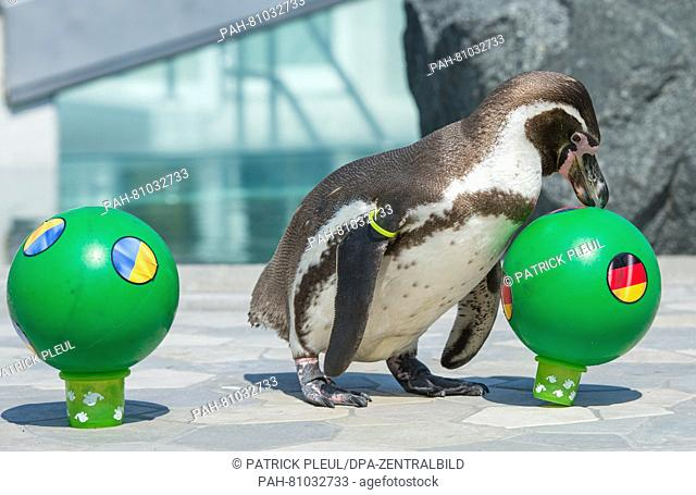 Humboldt-penguin 'Flocke', who lives in the swimming bath Spreewelten-Bad in Luebbenau, Germany, prods the ball with the German flag from its plinth and ignores...