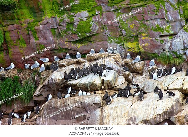 Black-legged Kittiwake Rissa tridactyla, and Common Murres, Uria aalge, Gull Island, Witless Bay Ecological Reserve, Newfoundland and Labrador, Canada
