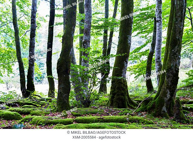 Beechwood (Fagus sylvatica) forest. Monte Santiago National Monument. Burgos, Castile and Leon, Spain, Europe