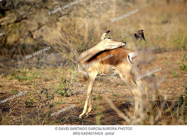 Impala looking behind at bird passing just over, South Africa