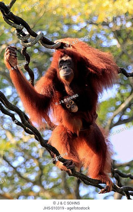 Orang Utan, Pongo pygmaeus, Asia, mother and young