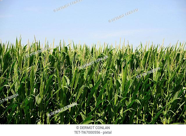 USA, Iowa, Cornfield along Route 30 in close-up