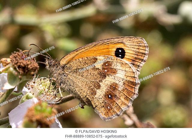 Gatekeeper Butterfly on bramble, Female, July, Suffolk