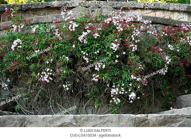 Jasminum polyanthum, gelsomino, jasmine