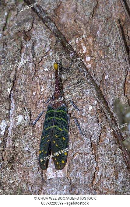 Lantern bug found at Gunung Gading National Park, Lundu, Sarawak, Malaysia