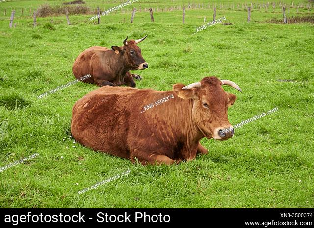 Cows resting in a meadow, Castro Urdiales, cantabria, Spain, Europe