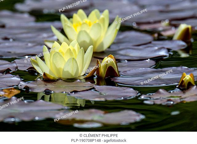 Yellow cultivar of Nymphaea / water lilies in flower in pond