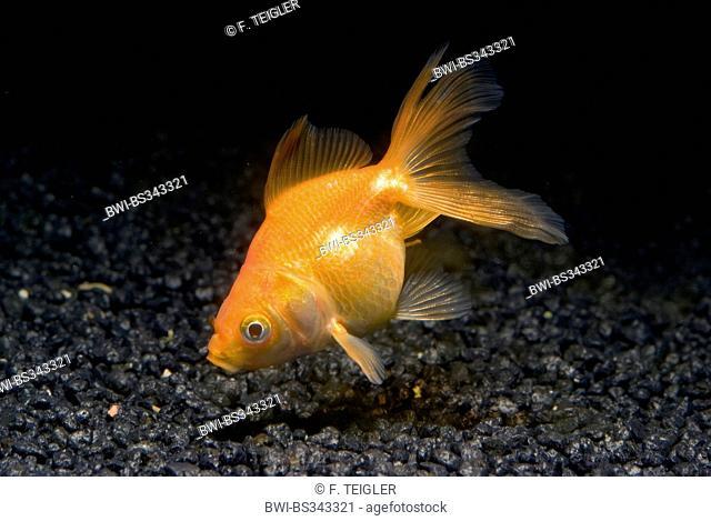 Goldfish Common Carp Carassius Auratus Breeding Form Red