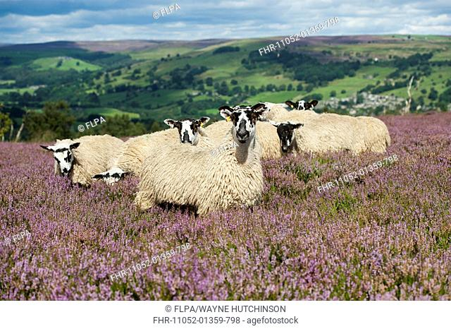 Domestic Sheep, mule gimmer lambs, out of Dalesbred ewes, grazing on heather moorland, above Pateley Bridge, Yorkshire Dales N.P