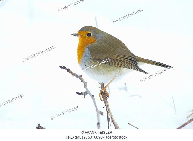 European Robin, Erithacus rubecula / Rotkehlchen, Erithacus rubecula