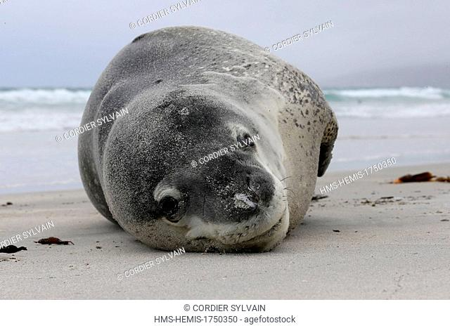 Falkland Islands, Saunders island, Leopard Seal (Hydrurga leptonyx) on the beach