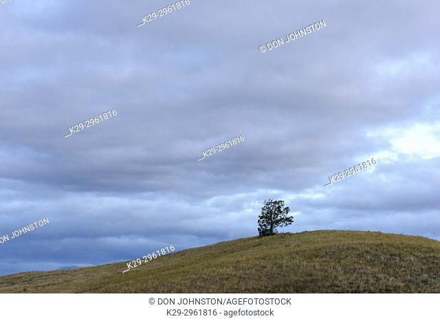 A lone tree on a grassy slope, Theodore Roosevelt NP (South Unit), North Dakota, USA