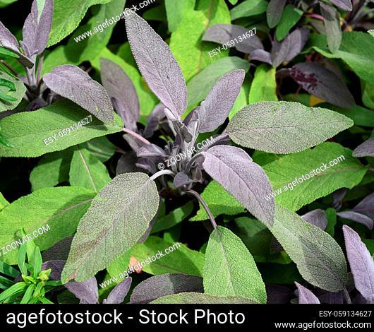 Purpursalbei, Salbei, Purpurascens, Salvia, officinalis