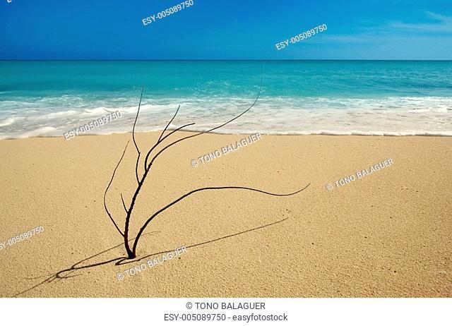 Black coral branch on caribbean beach shore