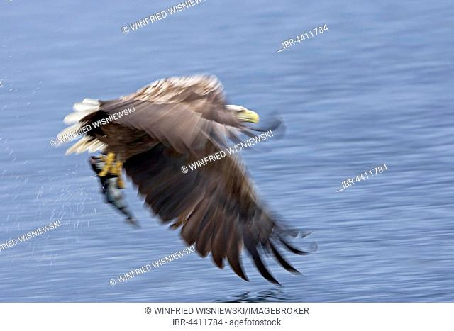 White-tailed eagle (Haliaeetus albicilla) catching a fish, Norway
