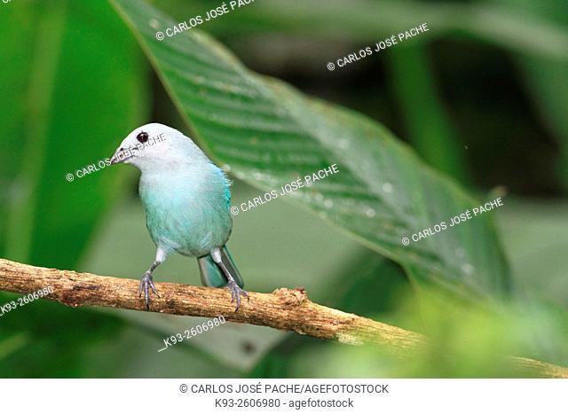 Una viudita (Thraupis episcopus). Parque Nacional de Corcovado, Costa rica