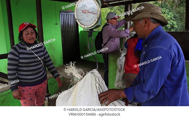 Woman and man carrying on the back bags of coffee beans of 50 kilos to be weighed and pulped with threshers. Coffee Plantation Farm in the rural area of Huila