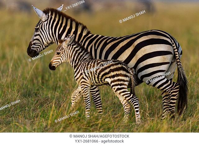 Zebra mother with her foal