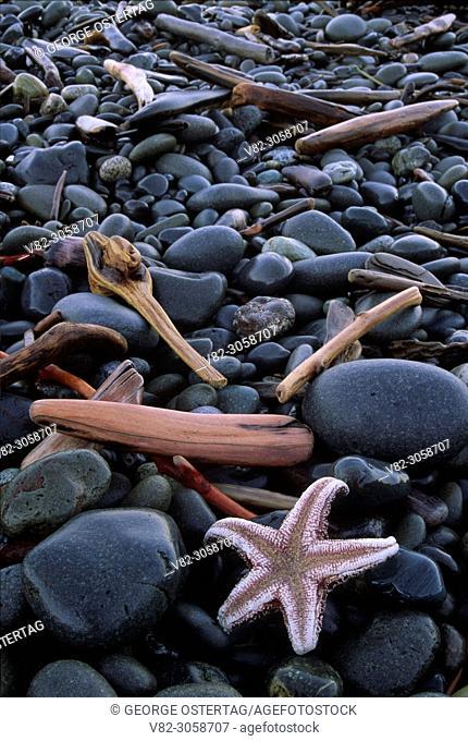 Starfish on cobbles at Rialto Beach, Olympic National Park, Washington