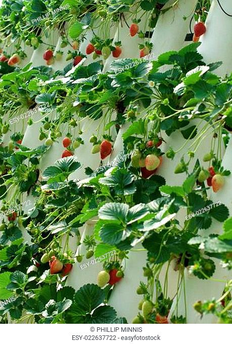 Hydroponically Grown Strawberry Vines
