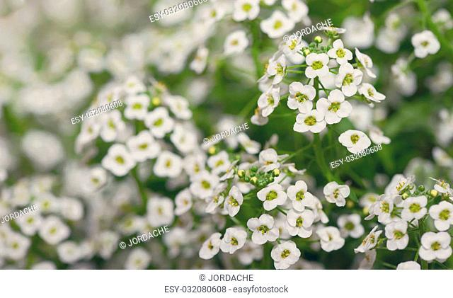 Little white Lobularia Maritima flowers - sweet alyssum