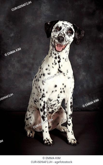 Studio portrait of dalmatian dog looking at camera