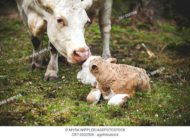 A newborn calf intimate with its mother