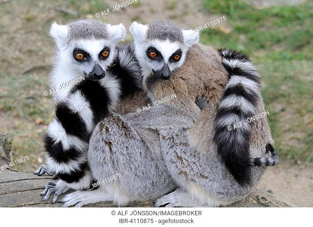 Ring-tailed Lemurs (Lemur catta) sitting close together in the zoo, Ystad, Sweden