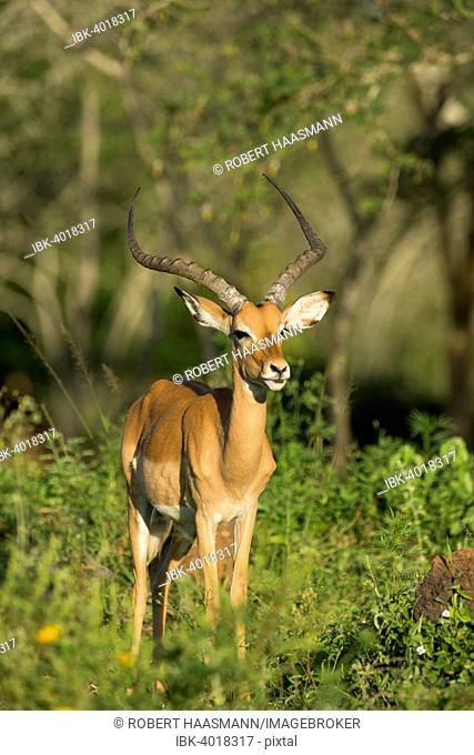 Impala (Aepyceros melampus), Lake Mburo National Park, Uganda