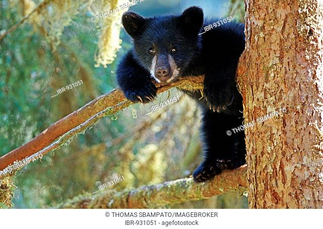 Young American Black Bear (Ursus americanus), cub, on a tree, Tongass National Forest, southeast Alaska, USA