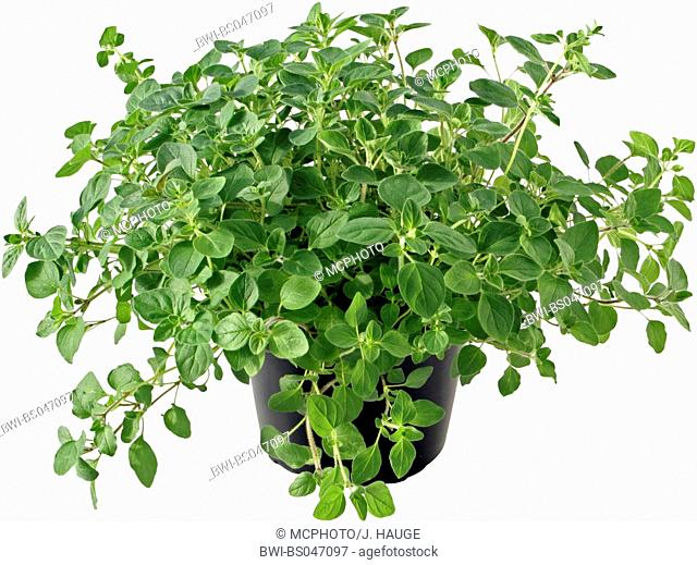 wild origanum, wild marjoram (Origanum vulgare), potted plant